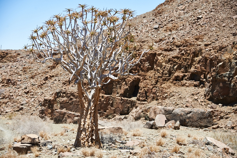 4 mal Aloe dichotoma Köcherbaum Namibia